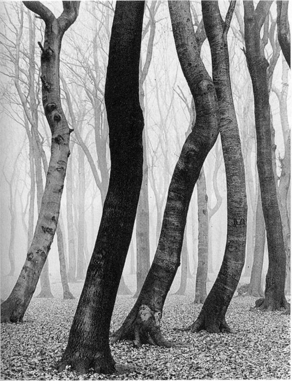 Albert Renger Patzsch Buchenwald In Fall Or Trees 1936